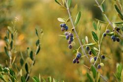 Olivenöl Gesund und Lecker